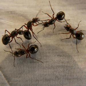 allontanare le formiche in modo naturale