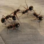 Come allontanare le formiche in modo naturale